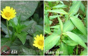 Cách điều trị bệnh á sừng bằng sài đất và rau răm